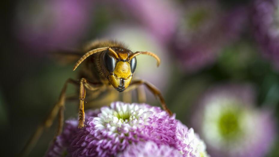 Murder hornet sting